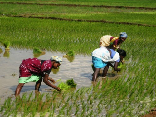 Vẻ đẹp ngút ngàn của các cánh đồng lúa trên toàn thế giới - anh 22