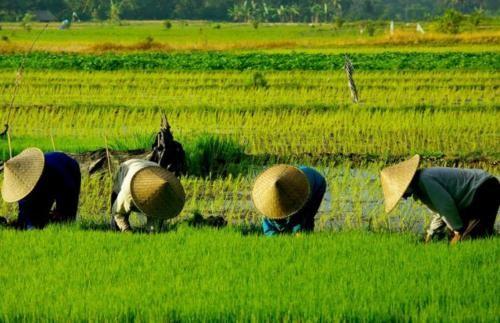 Vẻ đẹp ngút ngàn của các cánh đồng lúa trên toàn thế giới - anh 10