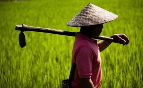 Vẻ đẹp ngút ngàn của các cánh đồng lúa trên toàn thế giới - anh 16