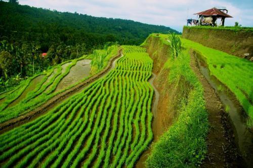 Vẻ đẹp ngút ngàn của các cánh đồng lúa trên toàn thế giới - anh 19