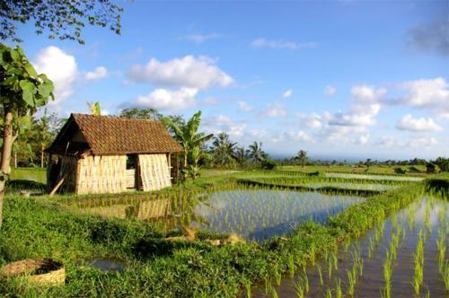 Vẻ đẹp ngút ngàn của các cánh đồng lúa trên toàn thế giới - anh 11