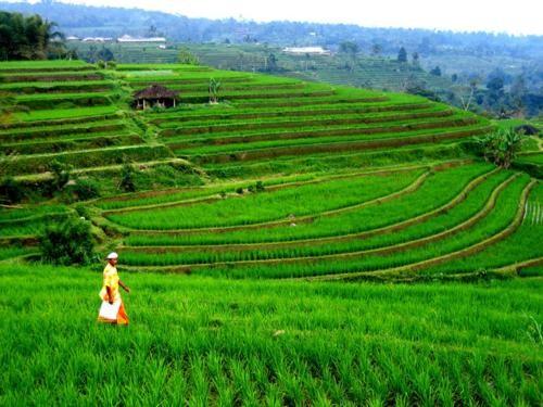 Vẻ đẹp ngút ngàn của các cánh đồng lúa trên toàn thế giới - anh 14