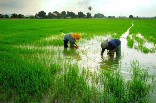 Vẻ đẹp ngút ngàn của các cánh đồng lúa trên toàn thế giới - anh 20