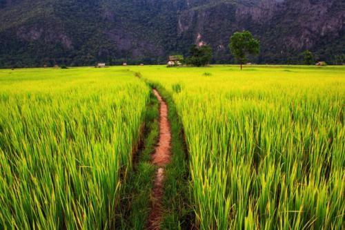 Vẻ đẹp ngút ngàn của các cánh đồng lúa trên toàn thế giới - anh 18