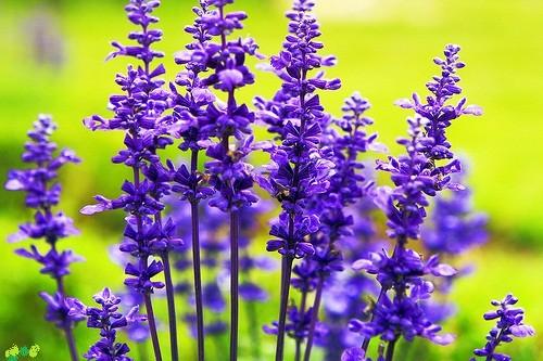 Tím biếc sắc hoa Lavender - Mộc thảo thiêng liêng của tình yêu - anh 4