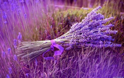 Tím biếc sắc hoa Lavender - Mộc thảo thiêng liêng của tình yêu - anh 5