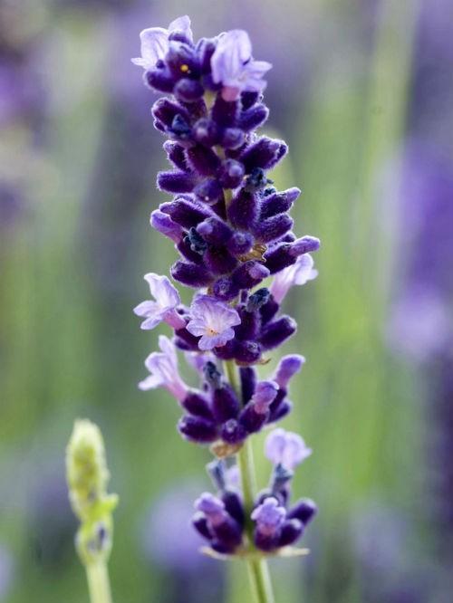 Tím biếc sắc hoa Lavender - Mộc thảo thiêng liêng của tình yêu - anh 6