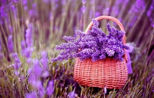 Tím biếc sắc hoa Lavender - Mộc thảo thiêng liêng của tình yêu - anh 2