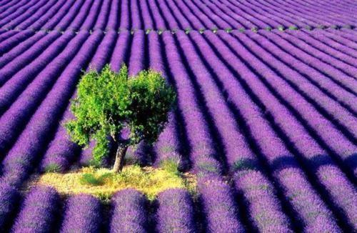 Tím biếc sắc hoa Lavender - Mộc thảo thiêng liêng của tình yêu - anh 15