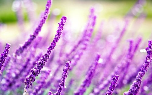 Tím biếc sắc hoa Lavender - Mộc thảo thiêng liêng của tình yêu - anh 1
