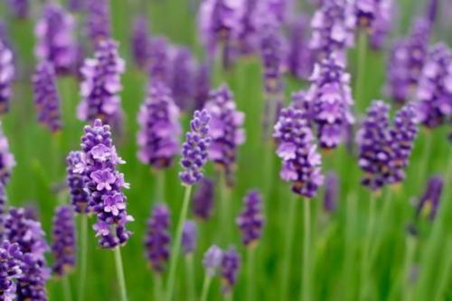 Tím biếc sắc hoa Lavender - Mộc thảo thiêng liêng của tình yêu - anh 16