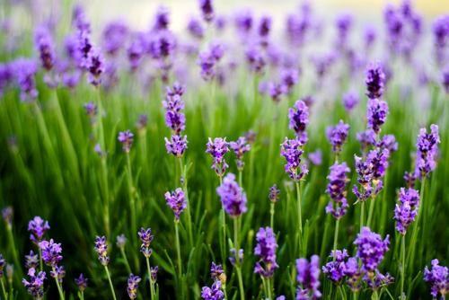 Tím biếc sắc hoa Lavender - Mộc thảo thiêng liêng của tình yêu - anh 17