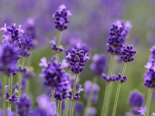 Tím biếc sắc hoa Lavender - Mộc thảo thiêng liêng của tình yêu - anh 7