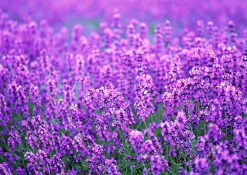 Tím biếc sắc hoa Lavender - Mộc thảo thiêng liêng của tình yêu - anh 8
