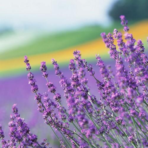 Tím biếc sắc hoa Lavender - Mộc thảo thiêng liêng của tình yêu - anh 24
