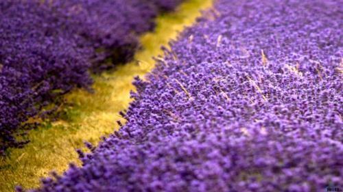 Tím biếc sắc hoa Lavender - Mộc thảo thiêng liêng của tình yêu - anh 9