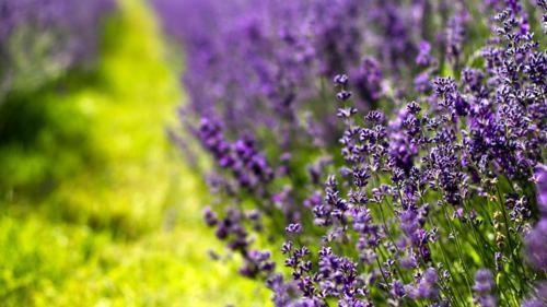 Tím biếc sắc hoa Lavender - Mộc thảo thiêng liêng của tình yêu - anh 22