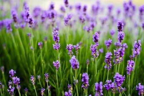Tím biếc sắc hoa Lavender - Mộc thảo thiêng liêng của tình yêu - anh 10