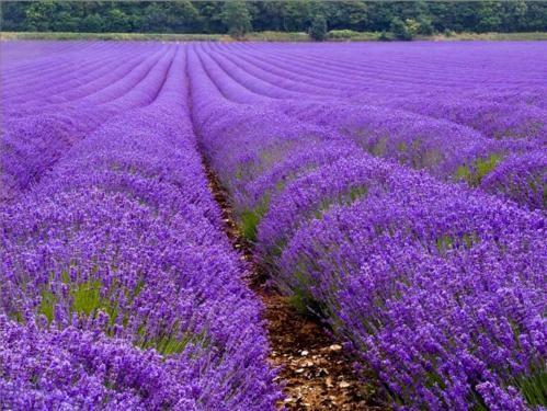 Tím biếc sắc hoa Lavender - Mộc thảo thiêng liêng của tình yêu - anh 11