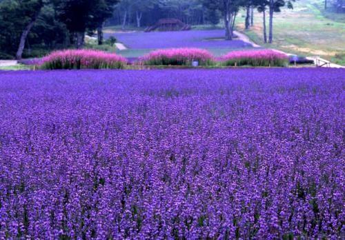 Tím biếc sắc hoa Lavender - Mộc thảo thiêng liêng của tình yêu - anh 12