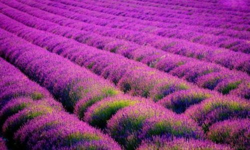 Tím biếc sắc hoa Lavender - Mộc thảo thiêng liêng của tình yêu - anh 13