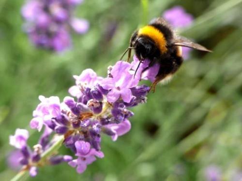 Tím biếc sắc hoa Lavender - Mộc thảo thiêng liêng của tình yêu - anh 14