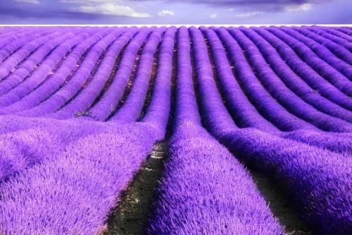 Tím biếc sắc hoa Lavender - Mộc thảo thiêng liêng của tình yêu - anh 18