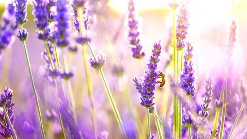 Tím biếc sắc hoa Lavender - Mộc thảo thiêng liêng của tình yêu - anh 19