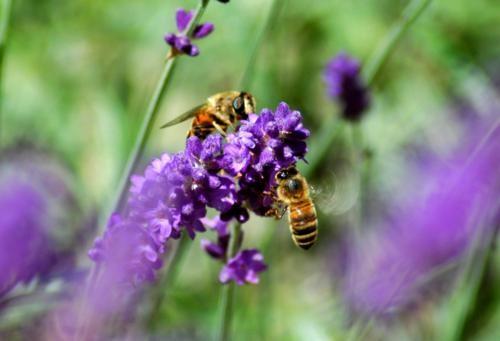 Tím biếc sắc hoa Lavender - Mộc thảo thiêng liêng của tình yêu - anh 3