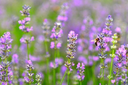 Tím biếc sắc hoa Lavender - Mộc thảo thiêng liêng của tình yêu - anh 25
