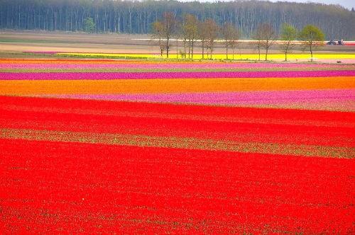 Ngắm thiên đường hoa Tulip độ xuân thì ở xứ sở Hà Lan - anh 20