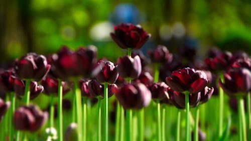 Ngắm thiên đường hoa Tulip độ xuân thì ở xứ sở Hà Lan - anh 9