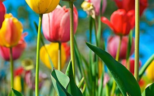 Ngắm thiên đường hoa Tulip độ xuân thì ở xứ sở Hà Lan - anh 3