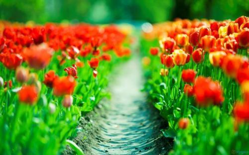 Ngắm thiên đường hoa Tulip độ xuân thì ở xứ sở Hà Lan - anh 6