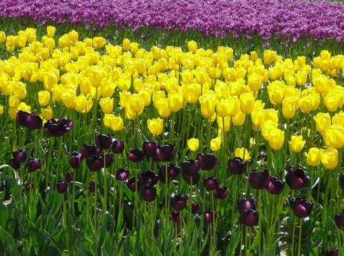 Ngắm thiên đường hoa Tulip độ xuân thì ở xứ sở Hà Lan - anh 7