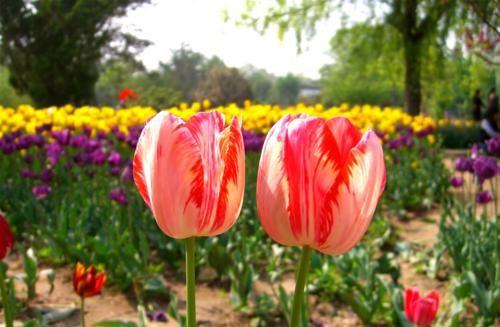 Ngắm thiên đường hoa Tulip độ xuân thì ở xứ sở Hà Lan - anh 12