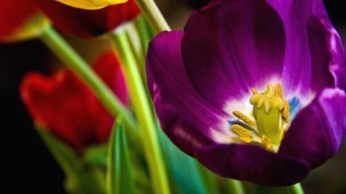 Ngắm thiên đường hoa Tulip độ xuân thì ở xứ sở Hà Lan - anh 1