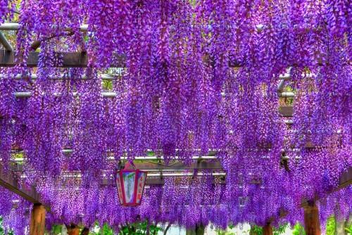 Ngắm ngàn hoa rực nở trong tiết xuân xứ Phù Tang - anh 13