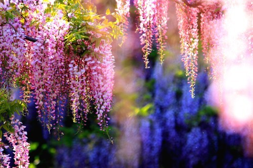 Ngắm ngàn hoa rực nở trong tiết xuân xứ Phù Tang - anh 2