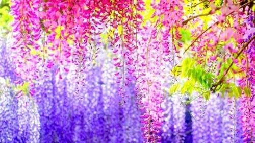 Ngắm ngàn hoa rực nở trong tiết xuân xứ Phù Tang - anh 1