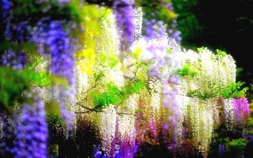 Ngắm ngàn hoa rực nở trong tiết xuân xứ Phù Tang - anh 3