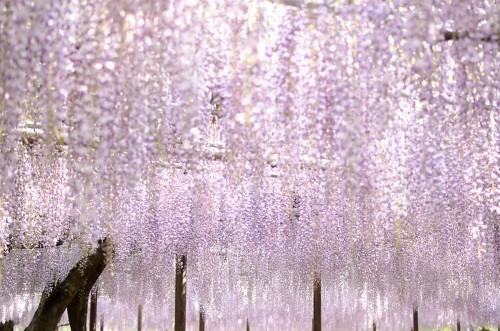 Ngắm ngàn hoa rực nở trong tiết xuân xứ Phù Tang - anh 17