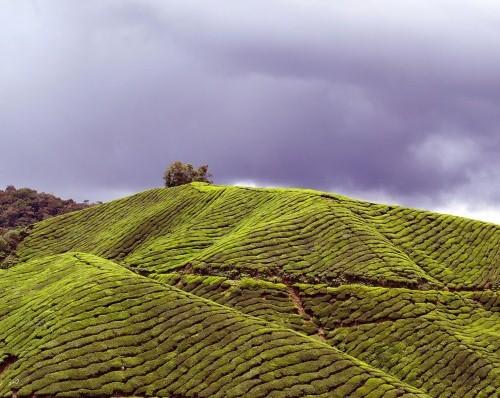 Lạc bước tại những đồi chè xanh mướt, đẹp nhất thế giới - anh 4