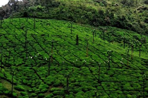 Lạc bước tại những đồi chè xanh mướt, đẹp nhất thế giới - anh 20