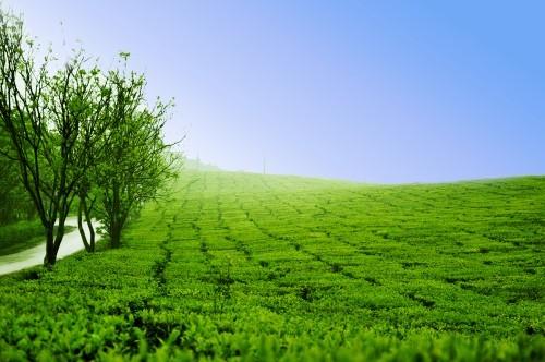 Lạc bước tại những đồi chè xanh mướt, đẹp nhất thế giới - anh 8