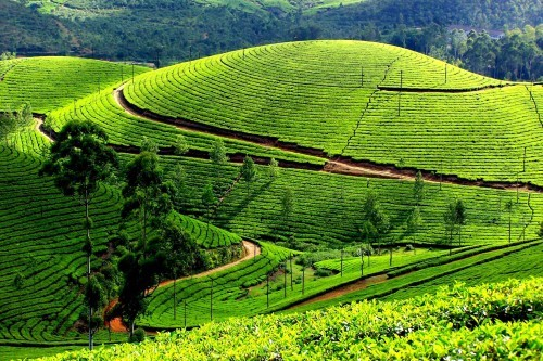 Lạc bước tại những đồi chè xanh mướt, đẹp nhất thế giới - anh 10