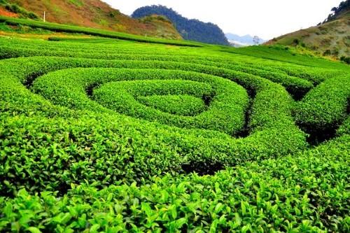 Lạc bước tại những đồi chè xanh mướt, đẹp nhất thế giới - anh 11