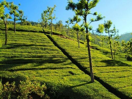 Lạc bước tại những đồi chè xanh mướt, đẹp nhất thế giới - anh 17
