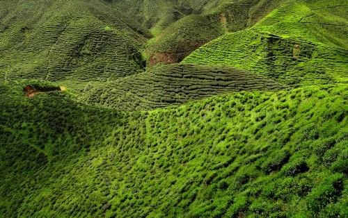 Lạc bước tại những đồi chè xanh mướt, đẹp nhất thế giới - anh 25