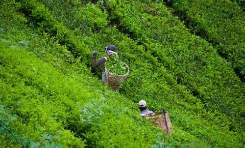 Lạc bước tại những đồi chè xanh mướt, đẹp nhất thế giới - anh 30